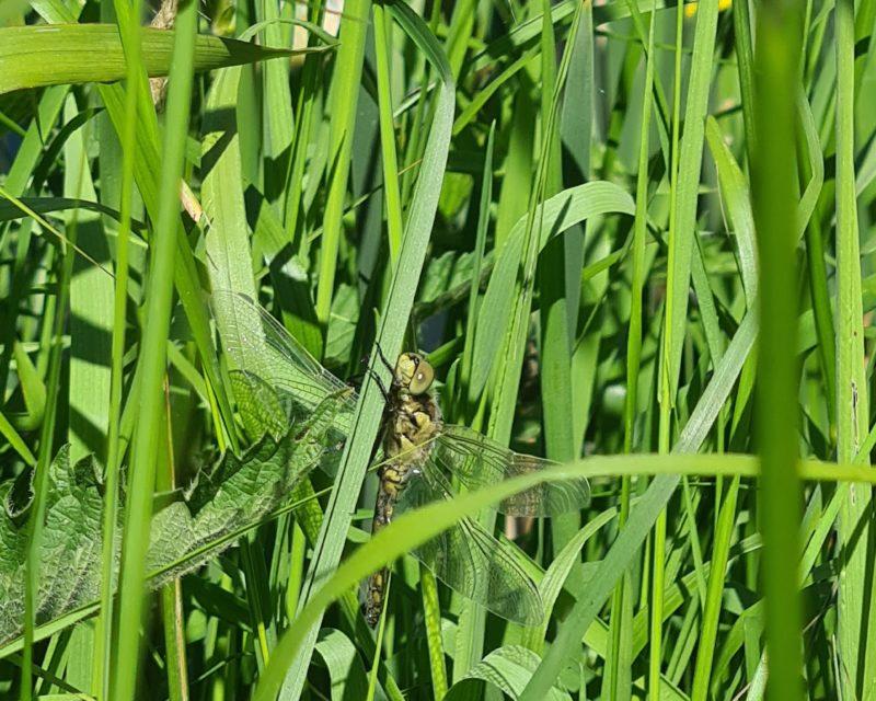 Libelle sonnt sich in den Heubachwiesen