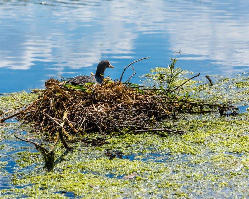 Blaesshuhn im Nest auf Bocholter Aa