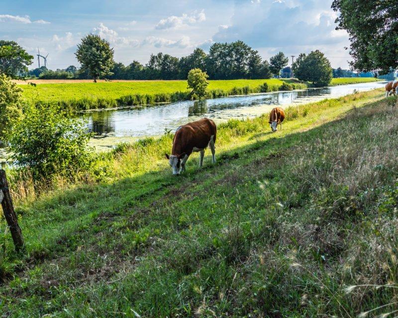 Kuehe grasen auf Wiese an der Bocholter Aa
