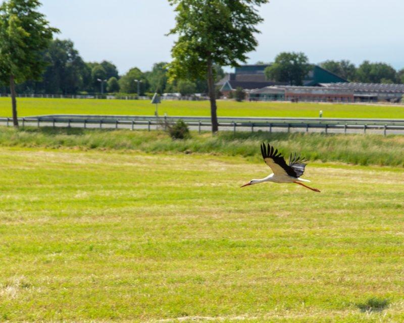 Storch mit ausgebreiteten Fluegeln im Landeanflug auf Bocholt