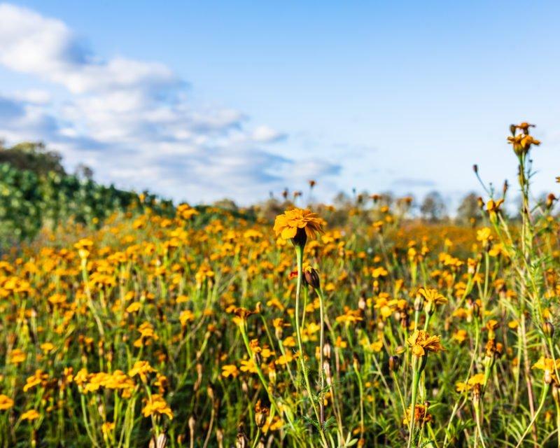 Gelbe Blumenwiese im Naturschutzgebiet Hervester Bruch Dorsten