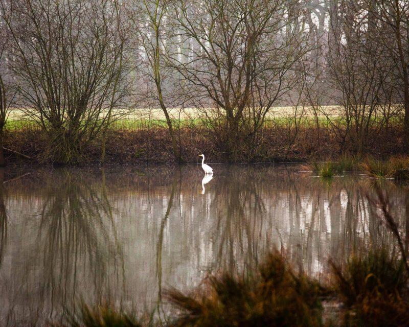 Silberreiher steht im Teich des Hervester Bruch Dorsten
