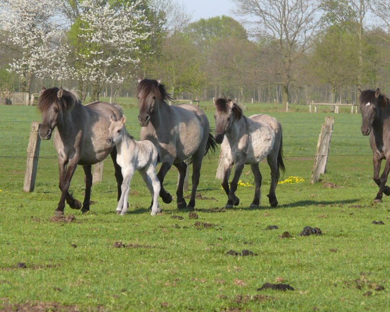 trabende Wildpferde Herde mit Fohlen Dülmen Hohe Mark RadRoute