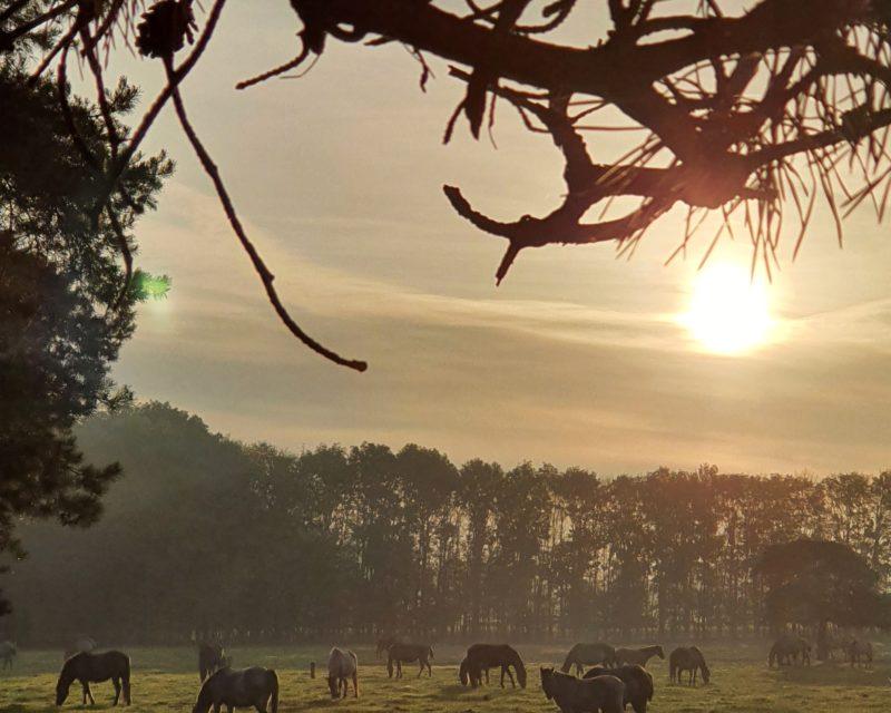 Wildpferde grasend Sonnenaufgang Dülmen Hohe Mark RadRoute