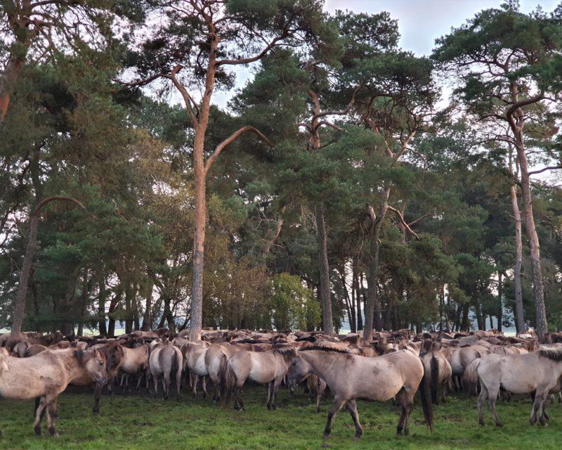 Wildpferde Herde ruhend unter Bäumen Dülmen Hohe Mark RadRoute