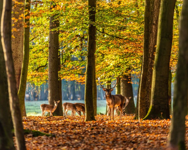 Rotwild Hirsch zwischen Buchen im Wald des Wildpark Dülmen