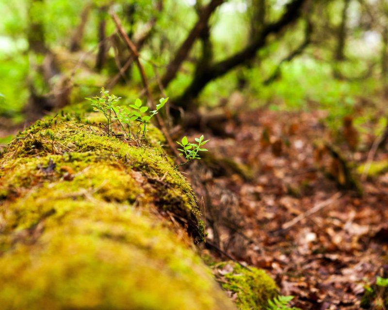 Moos Pflanzen wachsen auf Totholz in der Fuerstenkuhle
