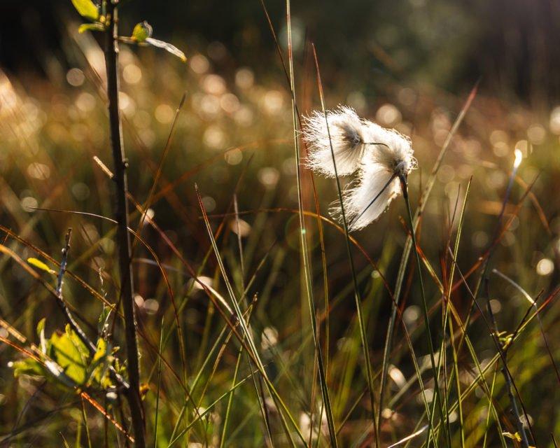 Wollgras im Wind Nahaufnahme Gescher Fuerstenkuhle Hohe Mark RadRoute