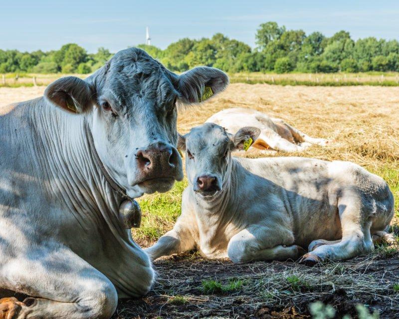 Weisse Kühe mit Glocke und Kalb liegend auf Weide im Naturschutzgebiet Kuhlenvenn Gescher