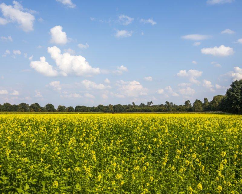 Panoramablick gelb bluehendes Rapsfeld
