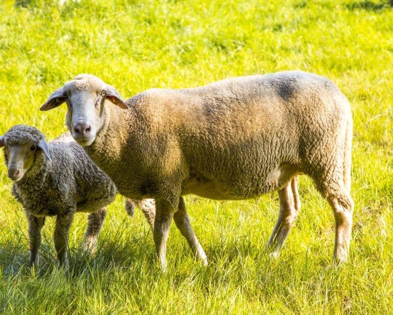 Schaf mit Lamm Nahaufnahme Hohe Mark RadRoute