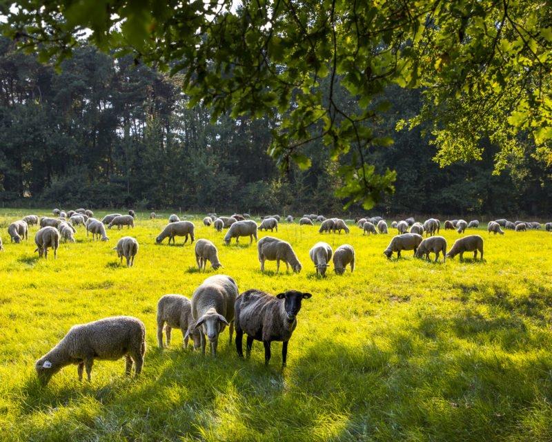 Schafsherde zur Landschaftspflege Naturschutzgebiet Dingdener Heide Hohe Mark
