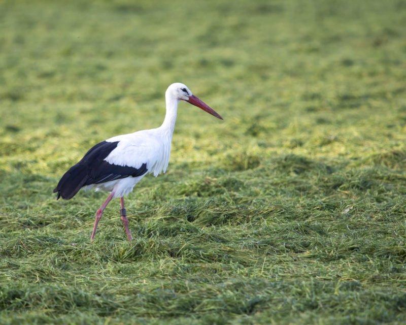 Storch in Nahaufnahme auf Wiese in Dingdener Heide