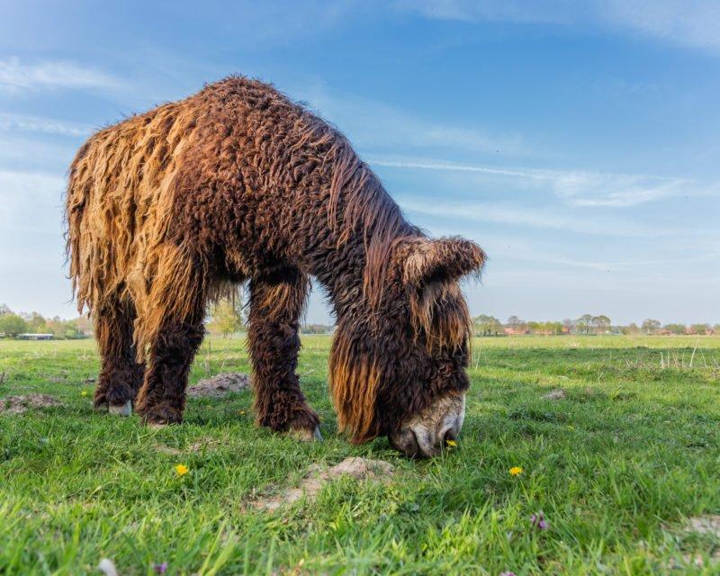 Grasender Poitou Esel Naturschutzgebiet Steveraue Olfen Hohe Mark RadRoute