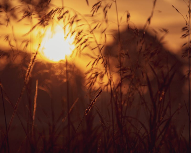 wehende Graeser im Sonnenaufgang Naturpark Hohe Mark