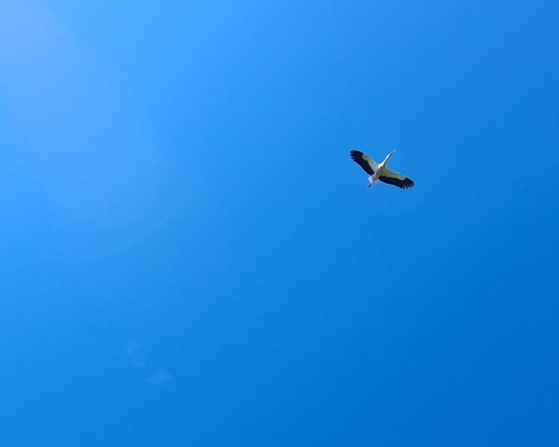 Storch im Flug am blauen Himmel über dem Rhein Bislich