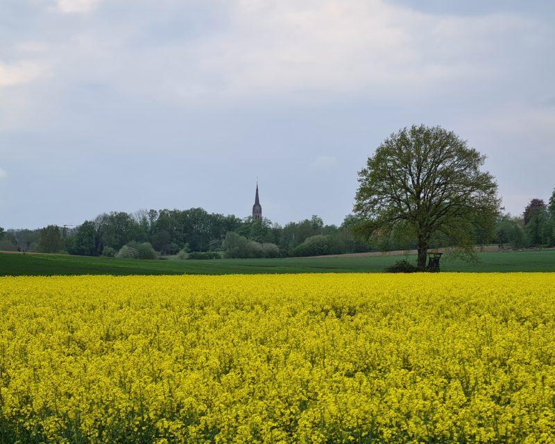 Blick ueber leuchtend gelbes Rapsfeld auf Kirchturm Seppenrade