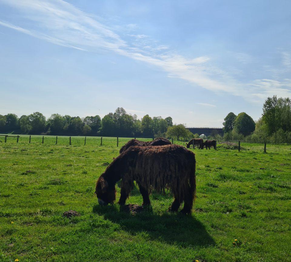 Poitou Esel vor der Drei Bogen Bruecke bei Tagestour in der Steveraue Olfen