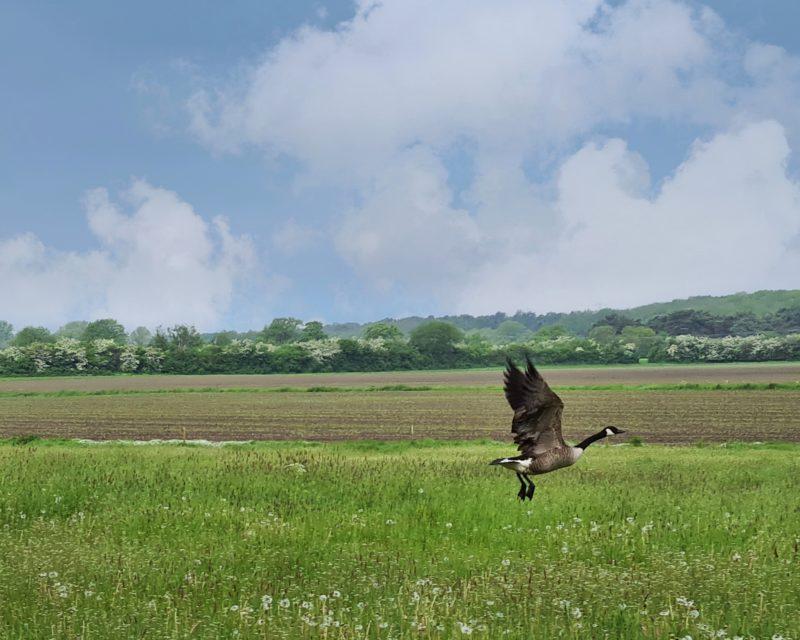 ueber Wiese fliegende Wildgans Tagestour