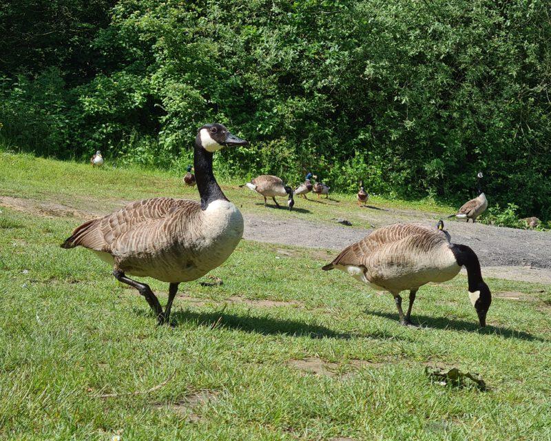Kanada-Gaense und Stock-Enten am Heidesee in Bottrop