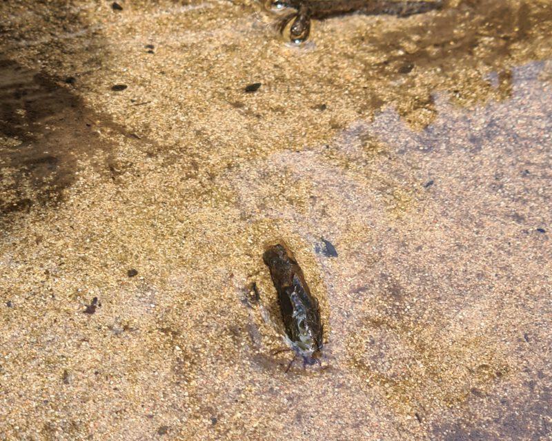 Libellen-Larve im Rotbach im Hiesfelder Wald
