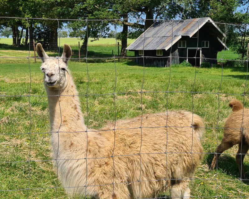 Lama auf Tagestour Hohe Mark RadRoute Niederlande