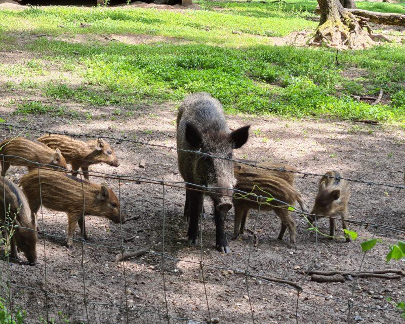 Wildschweine im Stadtwald Bocholt